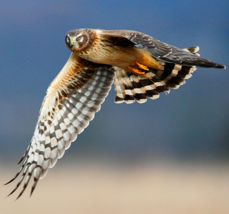 Photo of a Northern Harrier in flight.