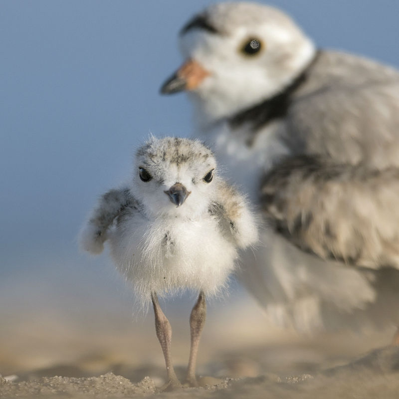 Piping Plovers.