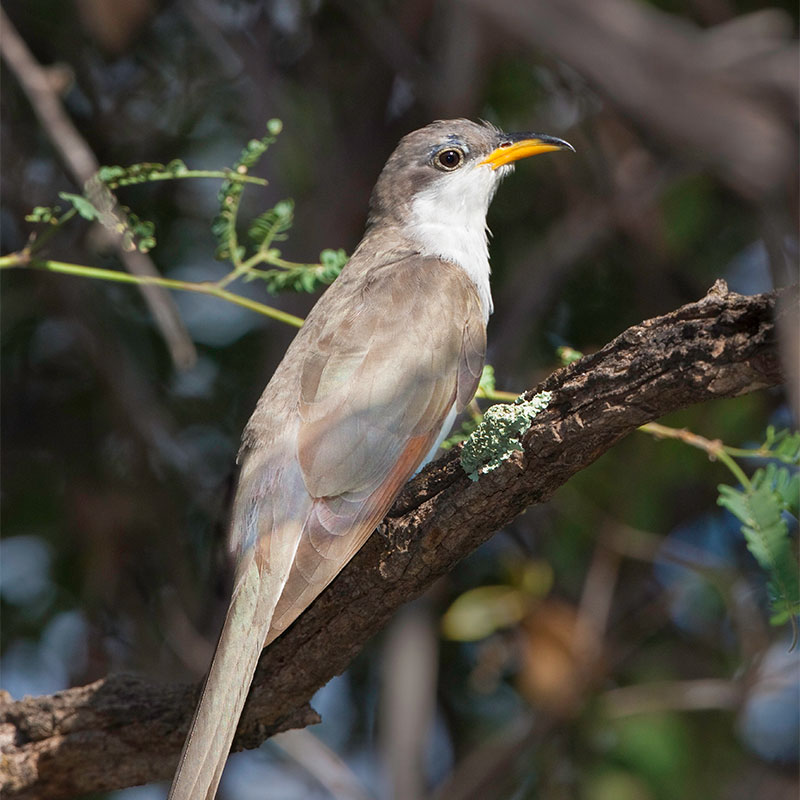 A Western Yellow-billed Cuckoo sitting on a branch.