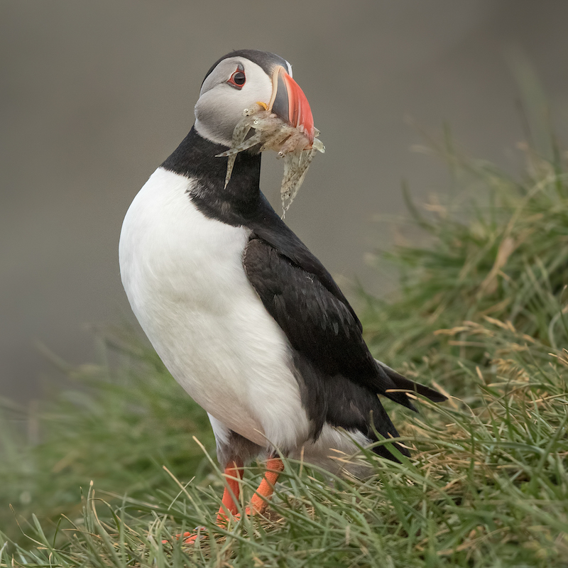 Photo of Atlantic Puffin with beakful of fish.