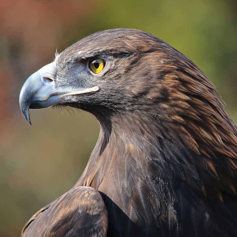Close-up photo of a Golden Eagle.